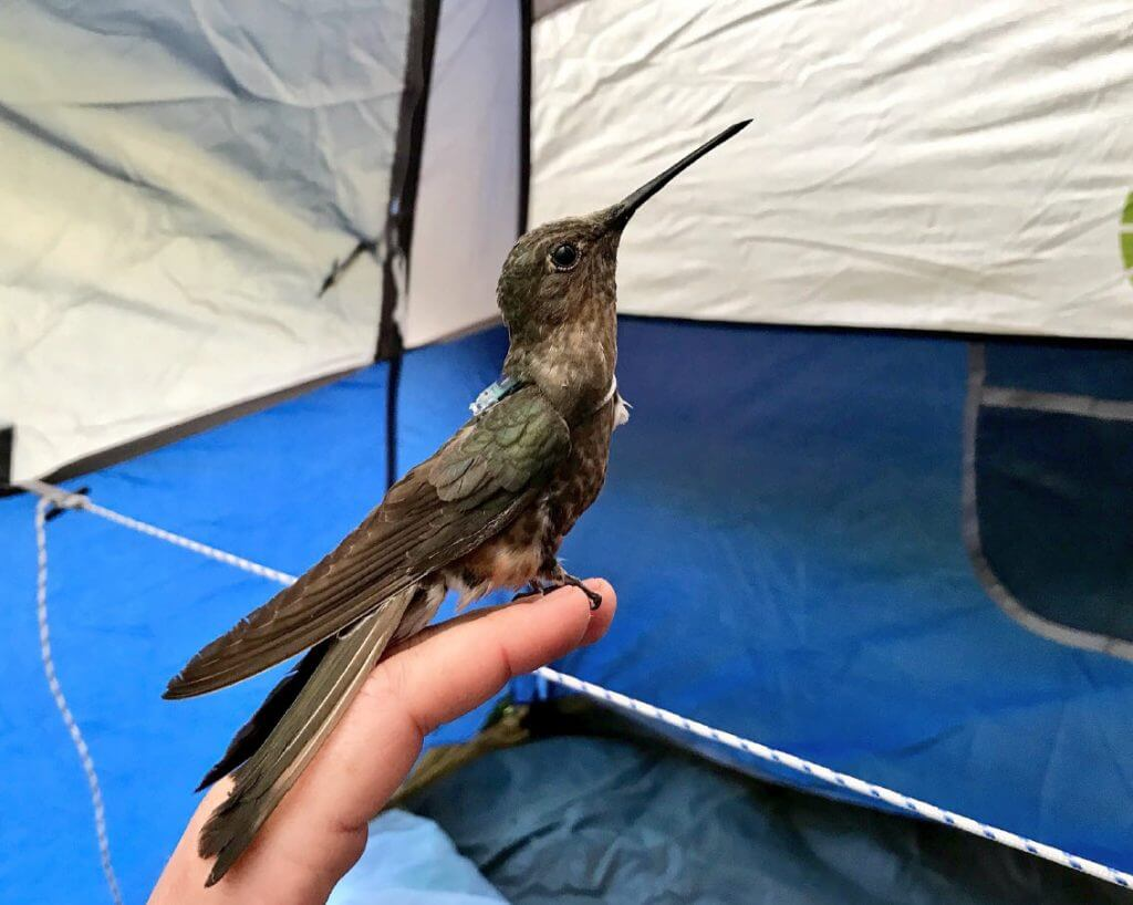 Blake Nuttall Fund Ornithological Club Stereo Wire Harness 2005 International Mystery Of The Lowland Giant Hummingbirds Patagona Gigas Central Chile